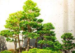 Bonsai, NC Arboretum