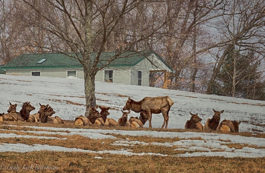 Elk Hanging Out - After